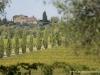12 cyprysy i winnice