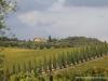 6 cyprysy wsrod winnic