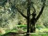 drzewa oliwne jak ludzie