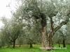 drzewo, które przypomina tanczaca pare