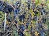 26 San Gusme przydomowa winnica