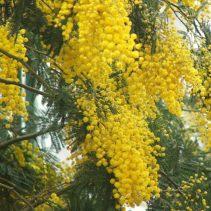 Mimosa i mimoza. Auguri a tutte le donne del mondo