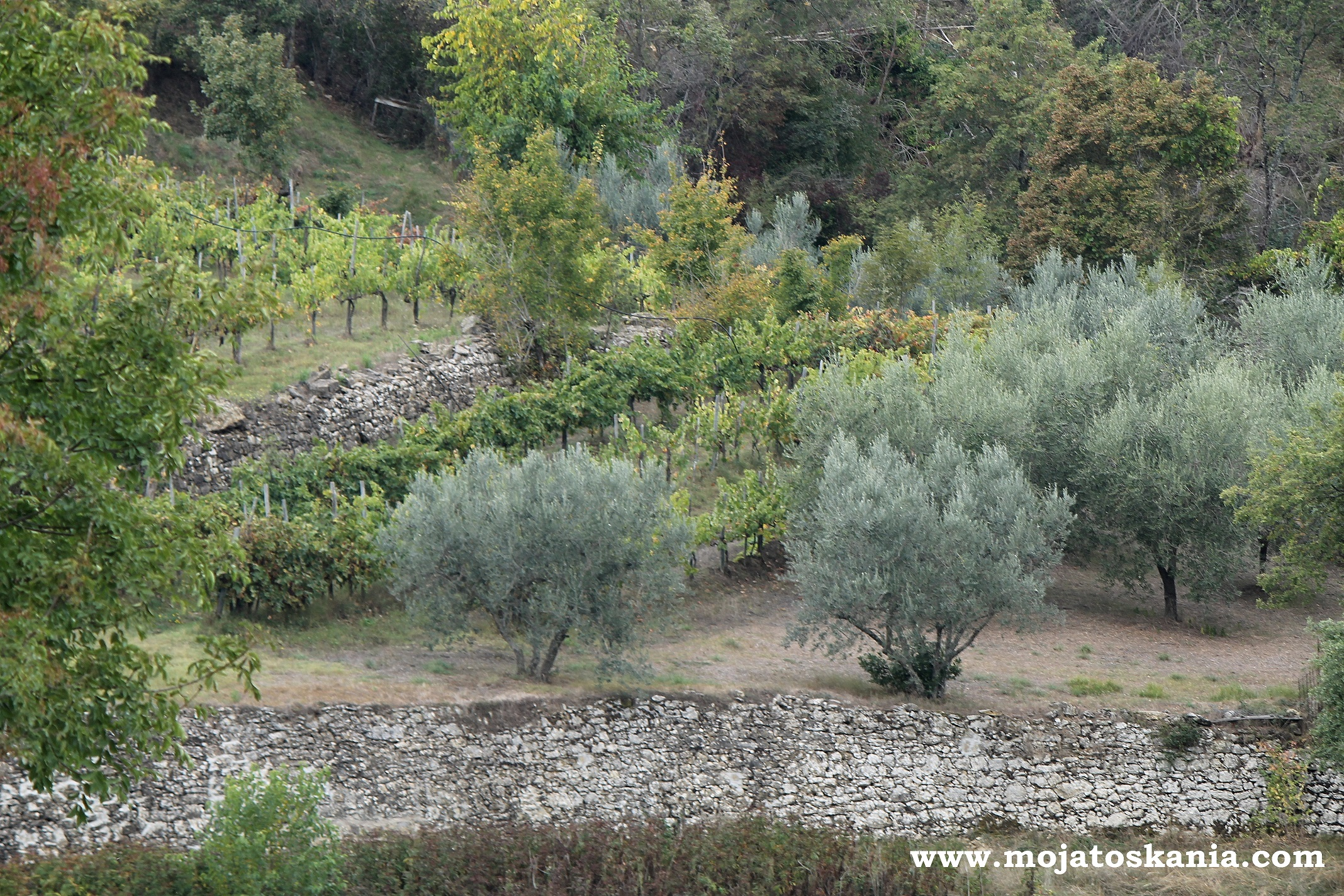 tarasy oliwkowe