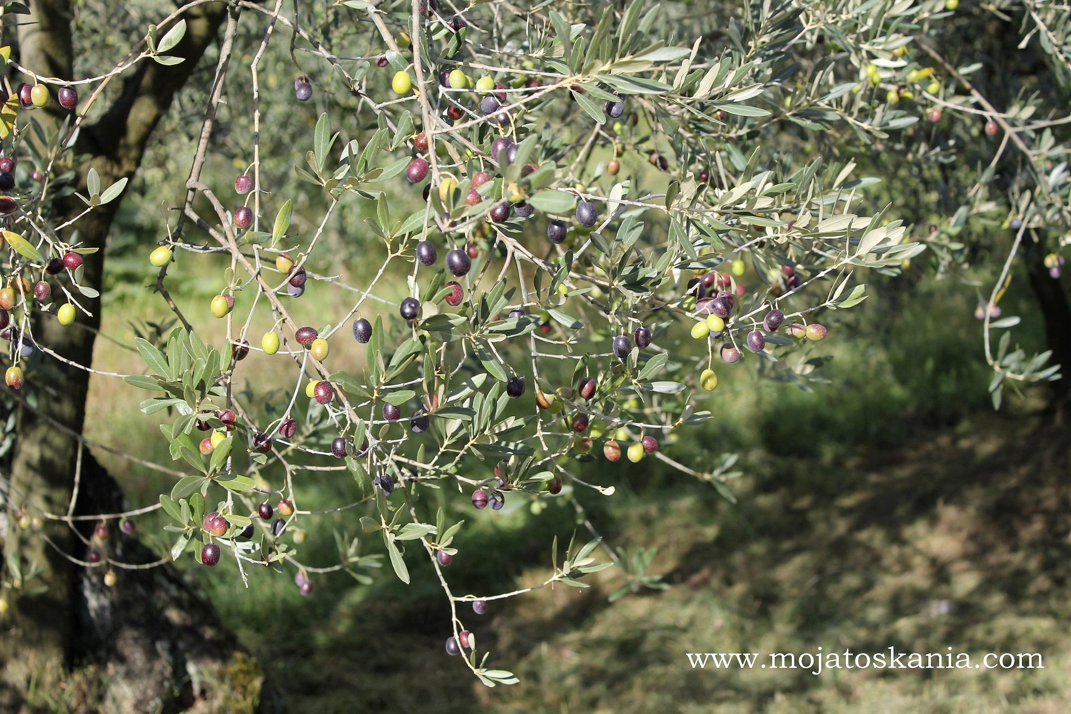 Różnobarwne koraliki oliwek na oliwnym drzewku szczęścia :).