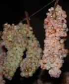 Vin Santo, nektar Toskanii. Etap pierwszy – suszenie winogron.