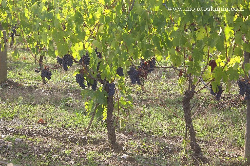 1 volpaia winnica