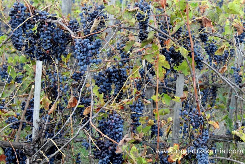 14 Winogronowa Niebieskosc