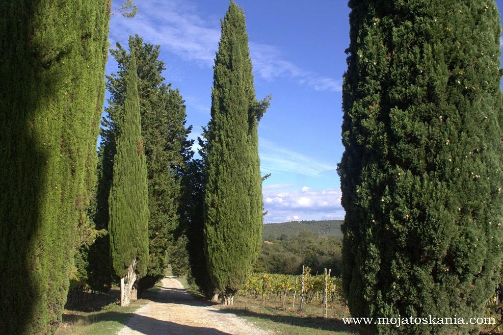 15 Cipressi Lupinari lungo le vigne