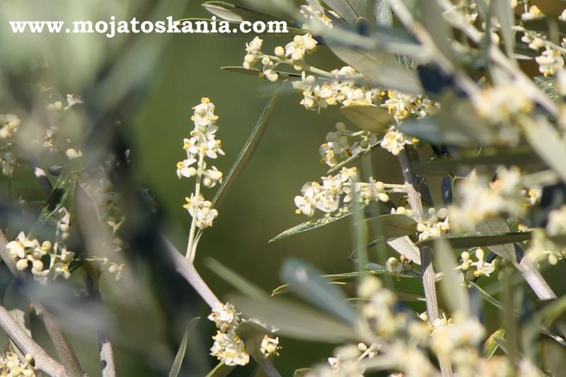 2 fiori di olivi bellissima foto.jpg