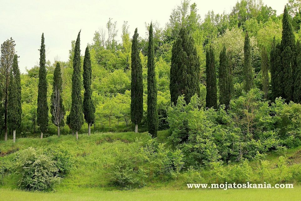 4 Toskania cyprysy maj 2014