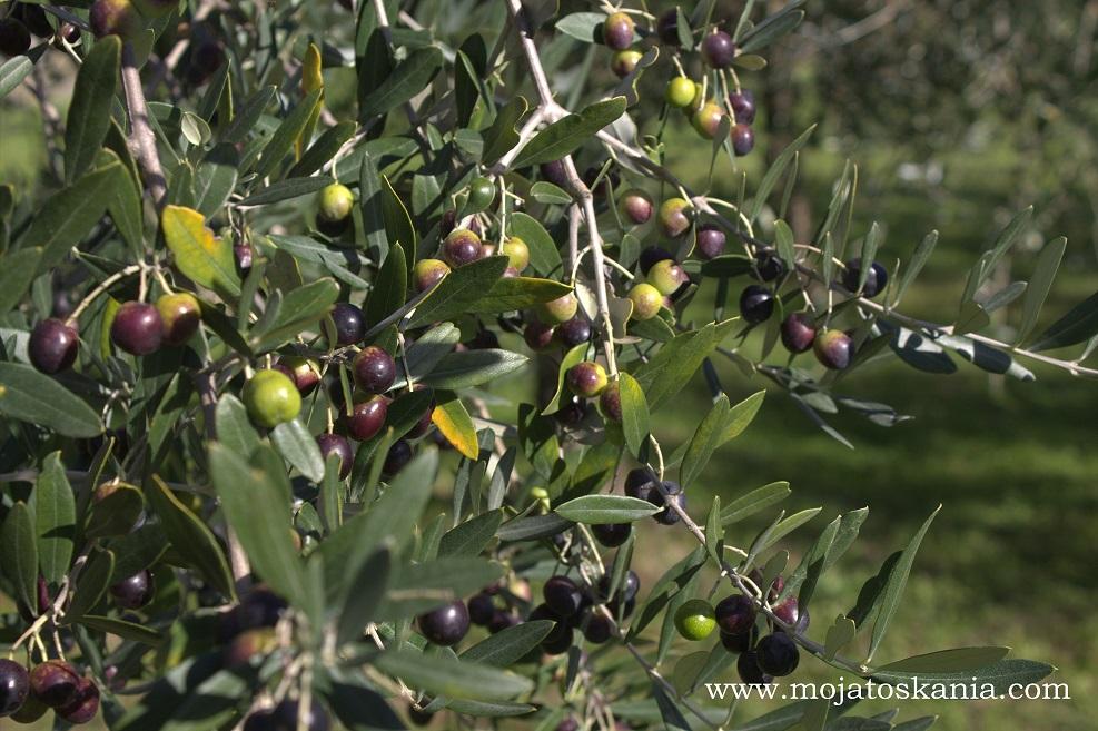 4 oliwki il giardino della Pieve di Gropina