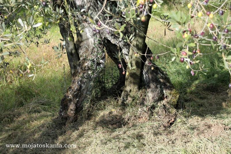 5 ciekawy pien drzewka oliwnego
