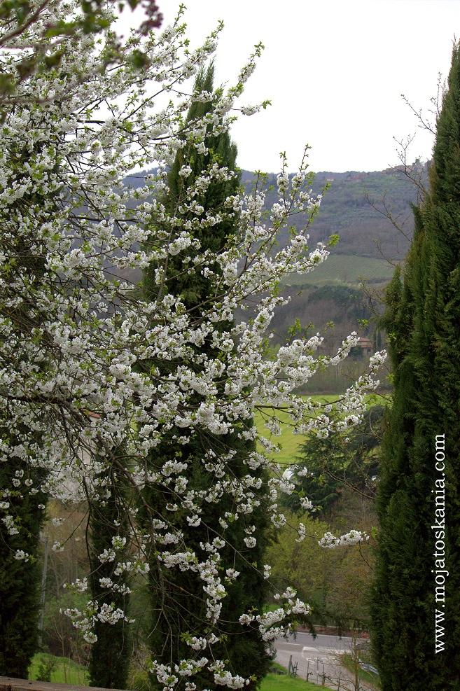 5 cyprysy i kwiaty wisni