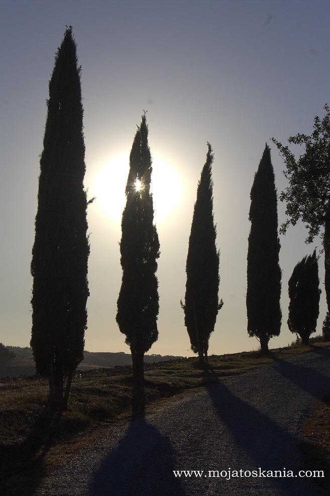 5 slonce przeswituje przez cyprysik