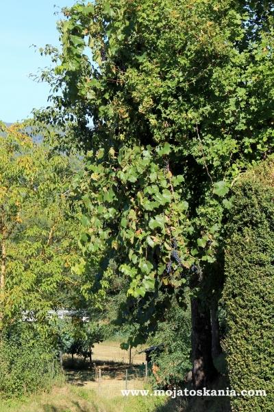 5 winogron na drzewie 2