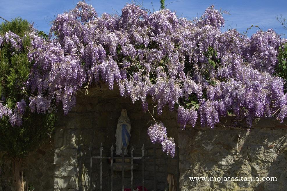 chiesa Capannole kwiaty glicynii na murze