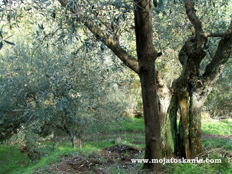 drzewa oliwne, te same, w innym oswietleniu