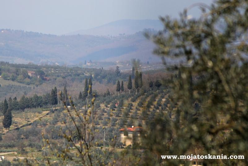 drzewka oliwne niedaleko Arezzo.jpg