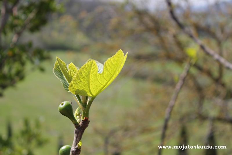 listki-figowca