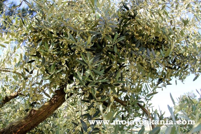 oliwka drzewko 1