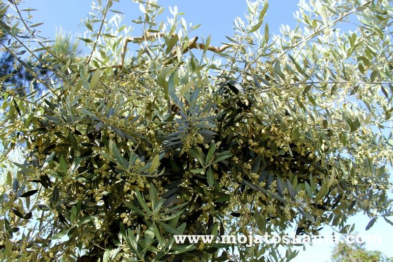 oliwka drzewko 2